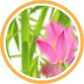 Lotusblüte und Blätter